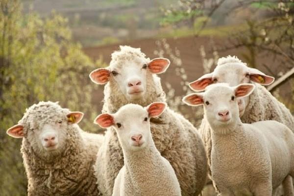 *Офицер и овцы* Анекдот