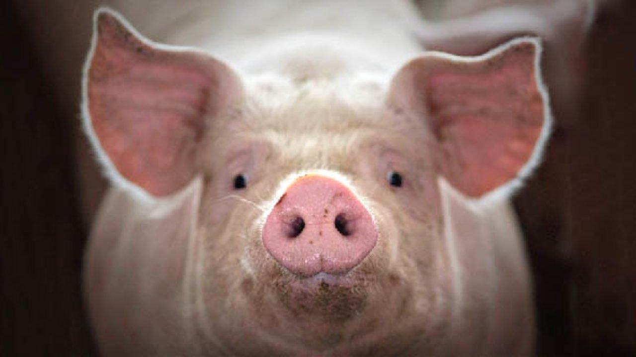 """""""Война из-за свиньи и картошки"""" – идиотам повод не нужен."""