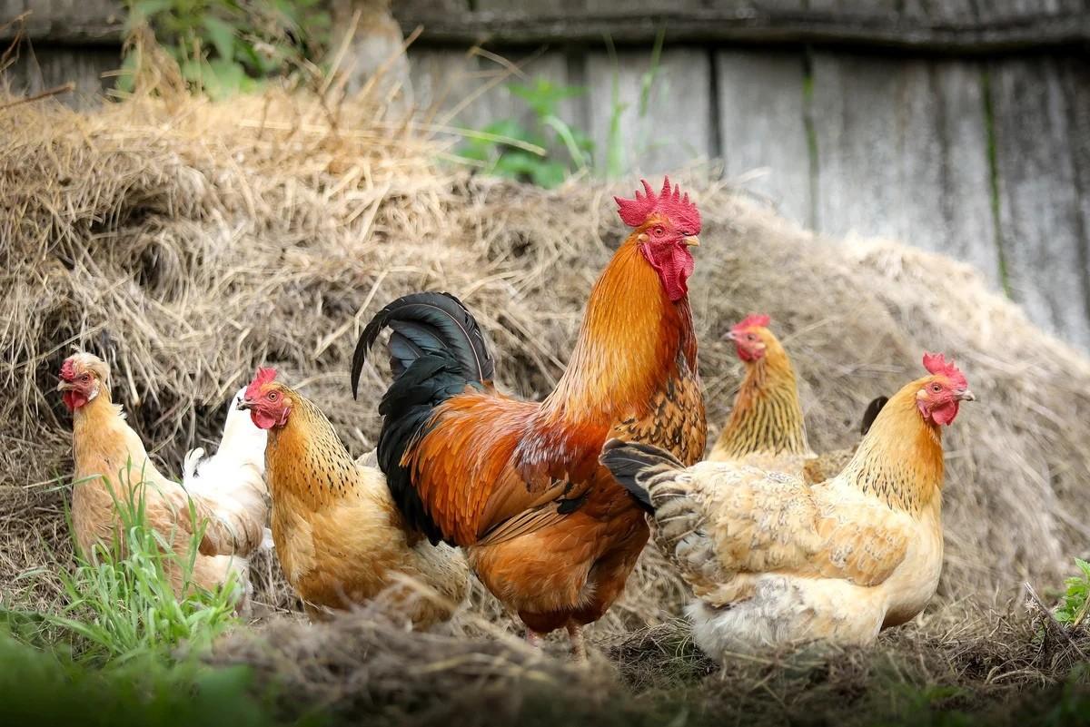 Вальпургиева ночь с запашком: в Швеции решили бороться куриным помётом с распространением коронавируса