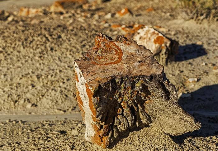 Окаменелое дерево.  Фото: Alex Mironyuk.