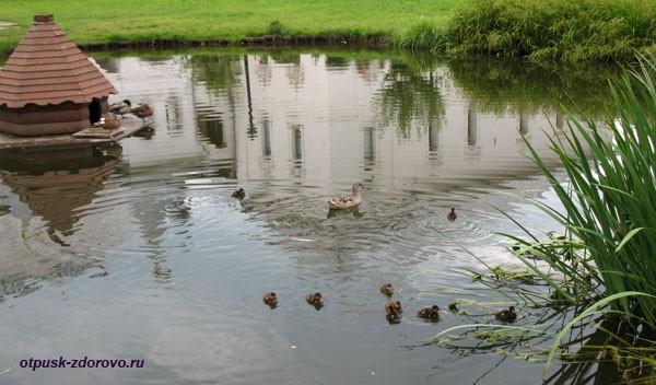 Утка с утятами плавает на пруду