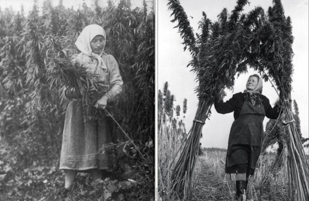 Почему в СССР перестали производить коноплю?