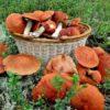 Можно ли посадить лесные грибы у себя на грядке