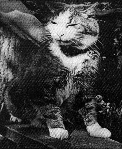 Легендарный Максим. Единственный кот, который пережил блокаду Ленинграда.