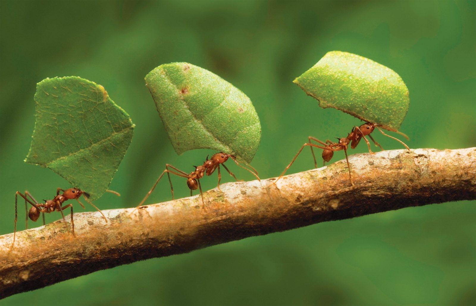Что будет делать муравей, если окажется далеко от муравейника?