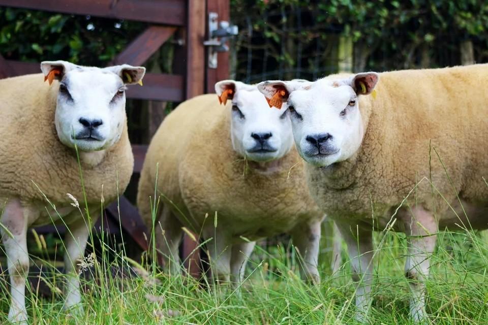 Помесь коровы, собаки и свиньи в теле овцы (это не фотошоп)
