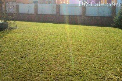 Мятликовый газон после зимы