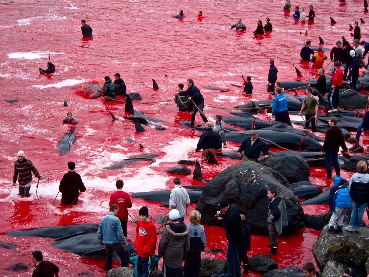 В европейских традициях в Дании за несколько часов без смысла убили 1428 дельфинов